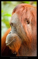 Beautiful Orang Utan
