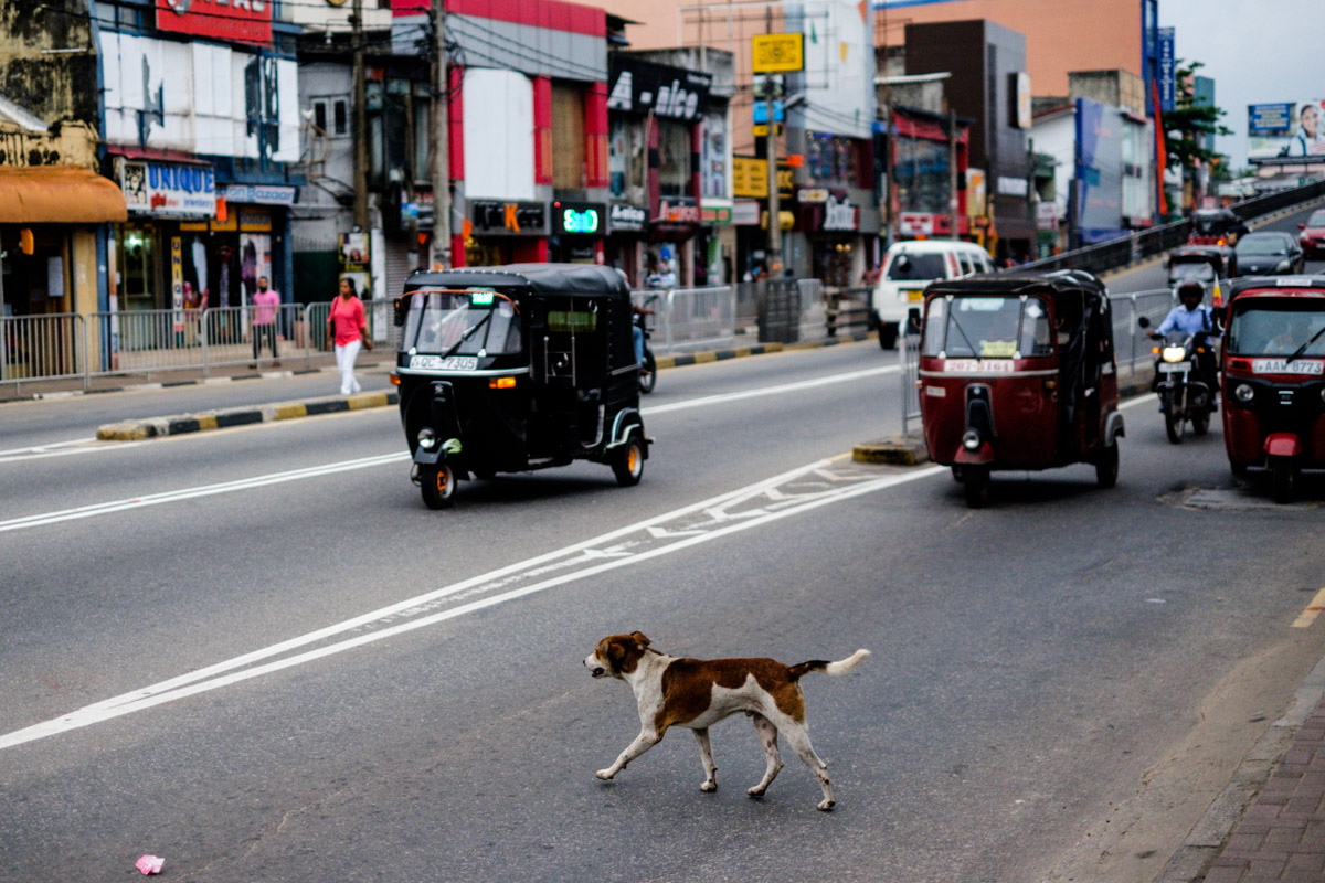 In Colombo, the dogs have a lot of street smarts! This one carefully looked both ways, waited and then made a perfect stride across the street in heavy traffic. This dog was much better at navigating the traffic than farm boy here!